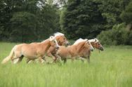 Batch of chestnut horses running together in freedom Stock Photos