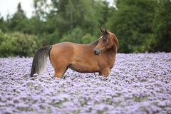 Arabian horse standing in purple flowers Stock Photos