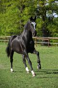 Beautiful black warmblood running on pasturage Stock Photos