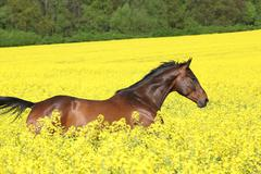 brown horse running in yellow colza field - stock photo