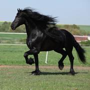 Stock Photo of gorgeous friesian stallion with long mane running on pasturage