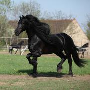 Gorgeous friesian stallion with long mane running on pasturage Stock Photos