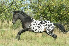 beautiful appaloosa stallion running in autumn - stock photo