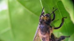 Bee beetle macro - stock footage