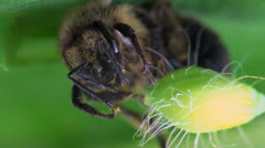 Bee macro bug Stock Footage