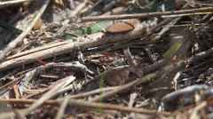 LEAF-CUTTER ANTS 06 1080 Stock Footage