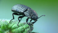 Stock Video Footage of Beetle macro bug