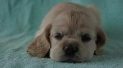 American Cocker Spaniel puppy Stock Footage