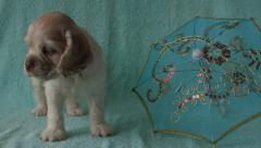 Puppy American Cocker Spaniel Stock Footage