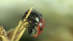 Ladybug macro - stock footage