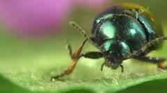 Beetle Mimela - stock footage
