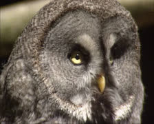 great grey owl, strix nebulosa turns head - close up - stock footage