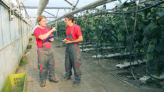 Cucumber Production in Greenhouse Stock Footage