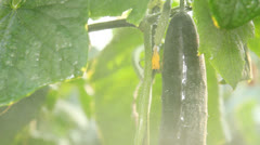 Watering Cucumber in a Greenhouse - stock footage