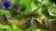 Stock Video Footage of small grasshopper macro