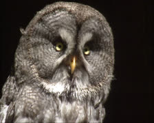 Stock Video Footage of great grey owl, strix nebulosa isolated