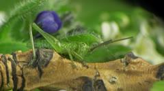 Small grasshopper macro Stock Footage