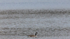 Canada geese swimming on a lake Stock Footage