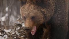 Brown bear yawns Stock Footage