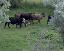 Ranchers in Montana move cattle from one pasture to another. - stock footage