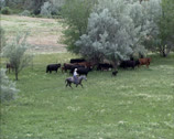 Stock Video Footage of Ranchers in Montana move cattle from one pasture to another - wide shot