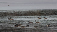 Stock Video Footage of Canada geese searching for food