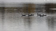 Stock Video Footage of Canada geese swimming on a lake