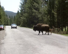 Bison & calf crossing road in yellowstone national park Stock Footage