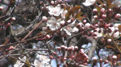 A beautiful spring.Fruit trees in bloom. Stock Footage