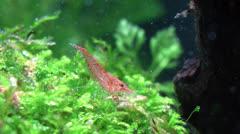 Cherry Shrimp Stock Footage