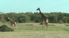 Giraffe adult with young walking in savannah Stock Footage