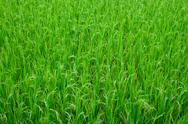 Stock Photo of Green Grass Rice Field Texture