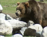 Stock Video Footage of Kodiak bear (Ursus arctos middendorffi) foraging between rocks