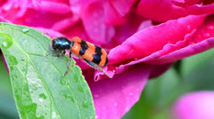 Red insect drink water on a peony Stock Footage