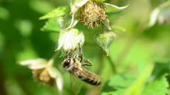 Bee pollinate a raspberry Stock Footage