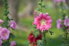 pink hibiscus flowers - stock photo