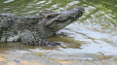 Crocodile with open mouth Stock Footage
