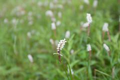 green herb, blanching moth - stock photo