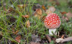 Poisonous red mushroom Stock Photos