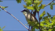 Shrike on branch of oak Stock Footage