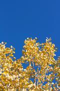Yellow sheet poplar, blue sky Stock Photos
