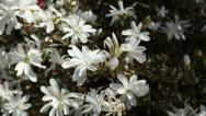 Stock Video Footage of pan right of white stellata magnolia in spring bloom