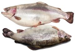 Pair of damp fish to trouts Stock Photos