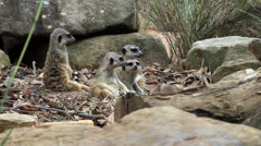 Group of meerkats Stock Footage