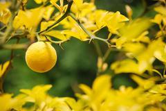 mellow lemon - stock photo
