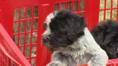 Playful Dutch sheepdog puppies in red laundry basket Stock Footage