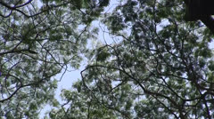 Jungle tree canopy, windy, blowing Stock Footage