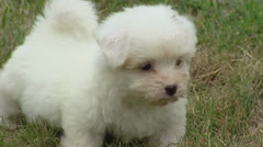 Coton de Tulear, playful puppie on lawn Stock Footage