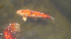 Koi Fish in Florida Gardens Stock Footage