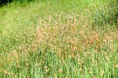 close up of green california grass - stock photo